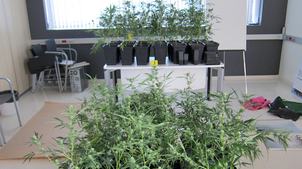 basauri_marihuana_2014_plantacion_plantas