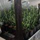 basauri_marihuana_2014_plantas